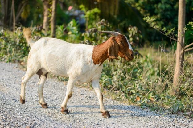 C'è una capra sul ponte dell'Elvo