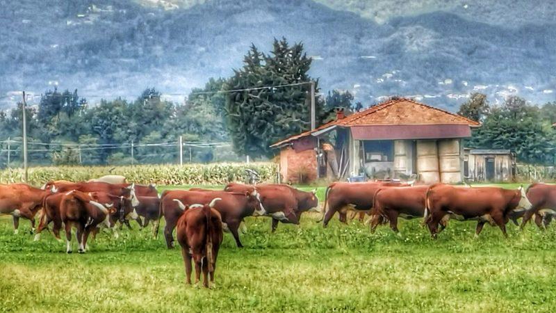 Mucche al pascolo in Via Moscona. FOTOGALLERIA