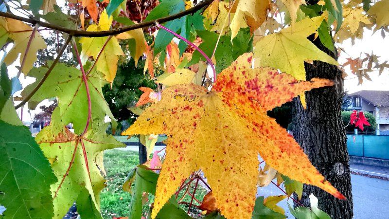 Gli aceri di Vigellio vestiti d'autunno. FOTOGALLERIA
