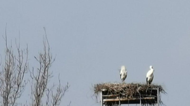 A cascina Cereje sono ritornate le cicogne. FOTONOTIZIA