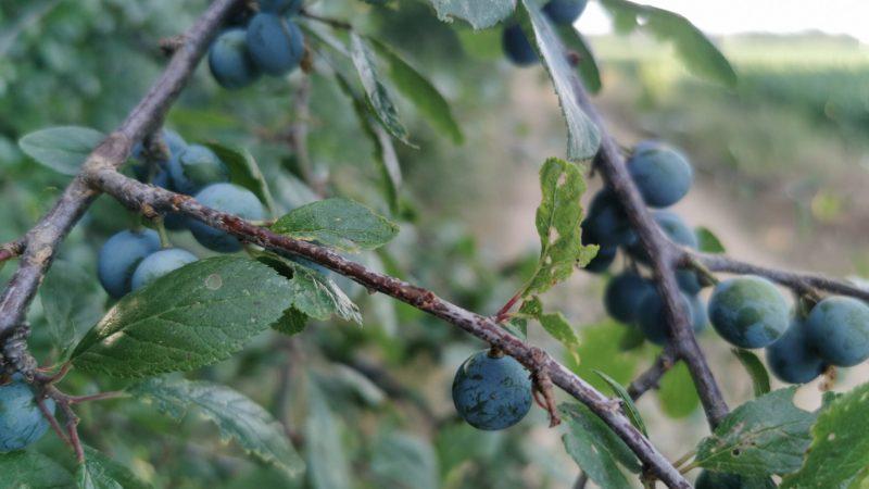Il prugnolo una pianta che cresce tra le aree verdi del territorio Salussolese