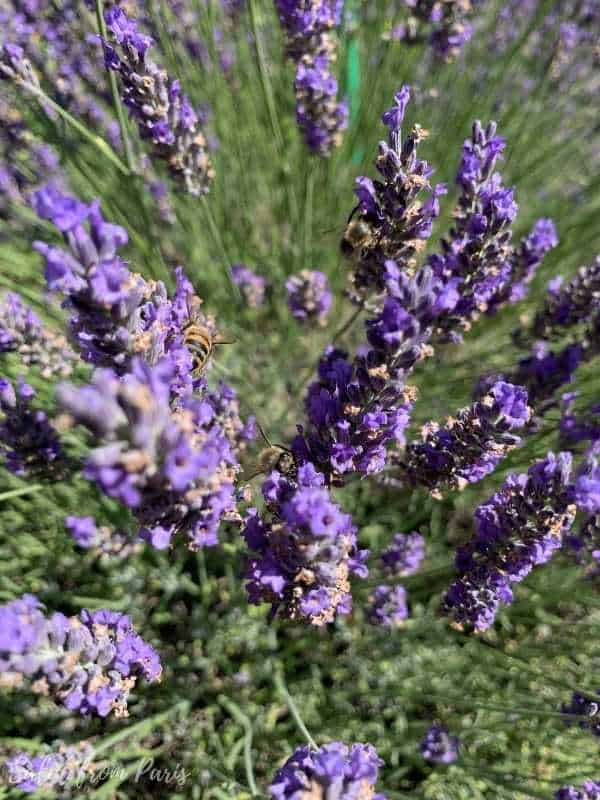 Lavender fields near Paris - in the garden of monet in giverny