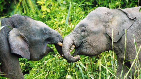 Elefantes pigmeos en Borneo