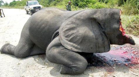 Elefante cazado ilegalmente en el Parque Nacional Virunga con la cabeza destrozada para arrancarle violentamente el marfil