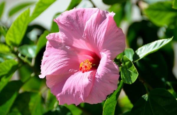 hibiscus flower jewelry