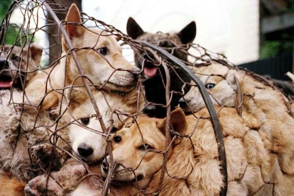 Will The Coronavirus Stop The Yulin Dog Meat Festival This Month?