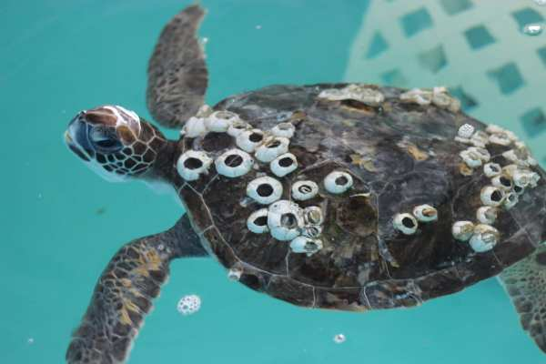 """The Kindness of """"Chika Boy"""" Who Saves Turtles From Unnecessary Suffering. (Video)"""