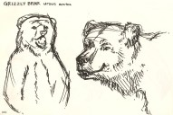 sketch of Grizzly bears at the Natural History Museum.