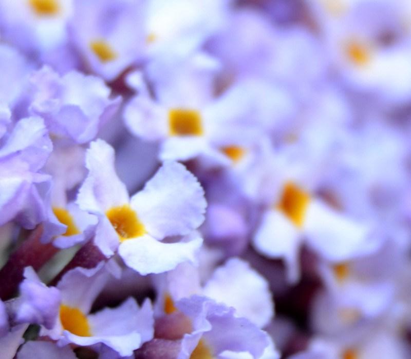 Little Lilac