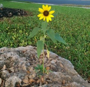 Sunflower of hope