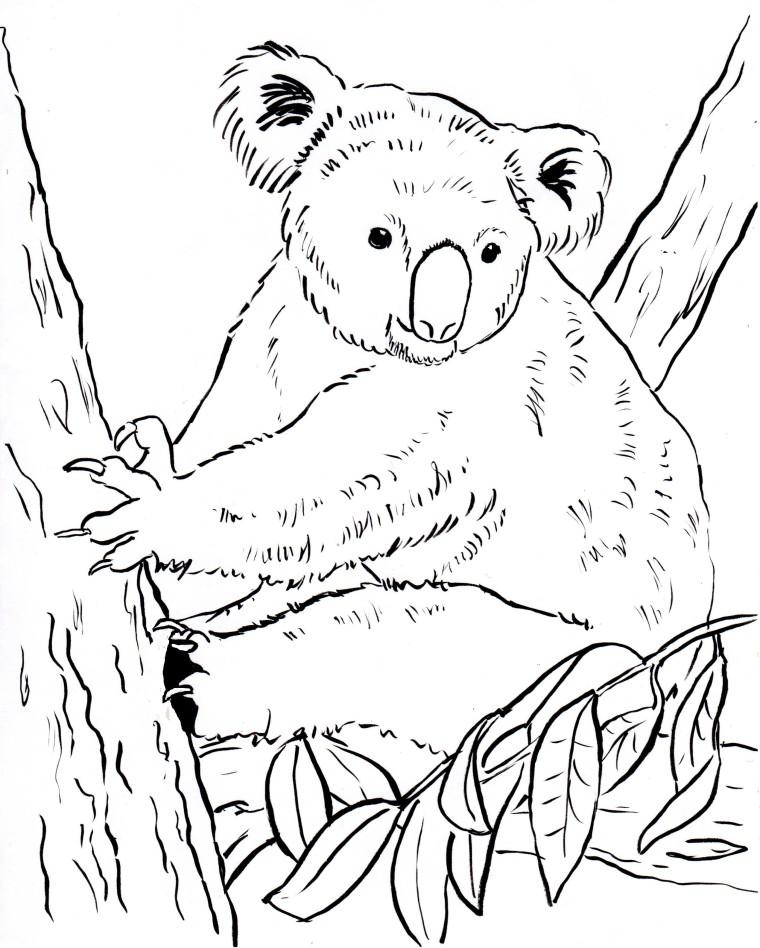 koala bear coloring page samantha bell