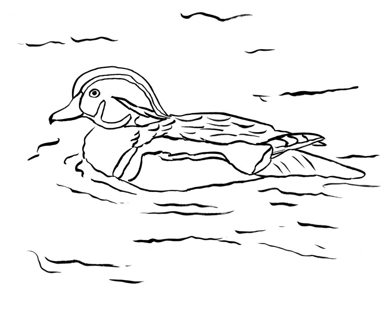 today s free printable wood duck page you can download the