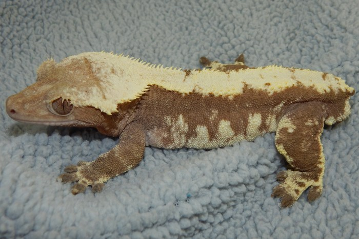 Crested Gecko Breeding Guide