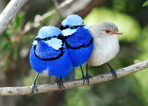 Splendid Fairy Wren Trio