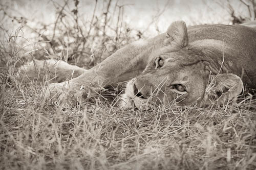 'Simba The Lion' - Serengeti National Park, Tanzania, East Africa