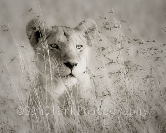 Lion in Grass, Serengeti National Park, Tanzania, East Africa
