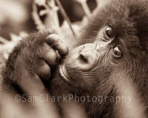Baby Gorilla, Rwanda, East Africa