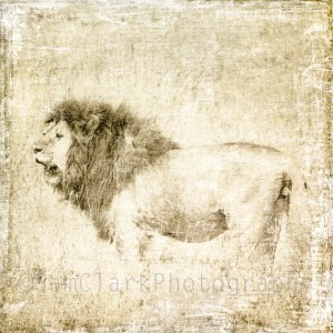 ARTography Lion Etching