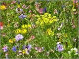 Wildblumen Samen
