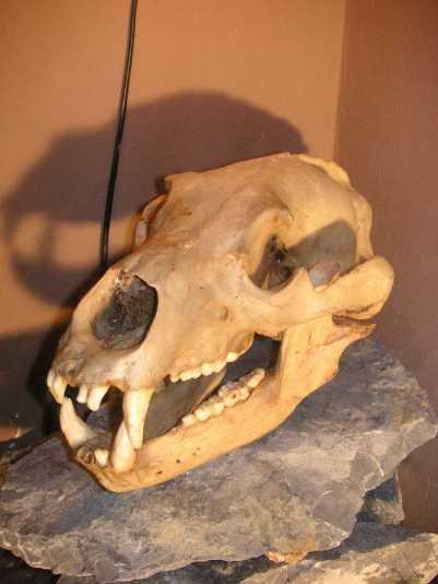 kl-11000 Jahre alter Braunbaerenschaedel