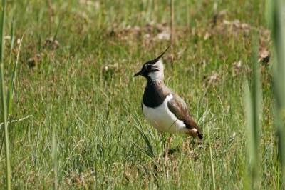 Der Kiebitz ist mittlerweile als Brutvogel im Irschener Winkel verschwunden. Gelingt es die teils intensiven Störungen zu minimieren und den Lebensraum zu verbessern, kann er als Brutvogel wieder zurückkehren. (Foto: Johannes Almer)