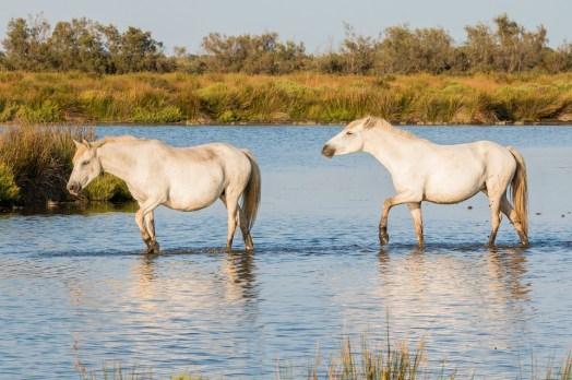 cam-pferde