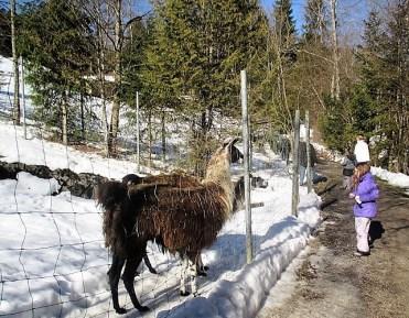Lamas füttern