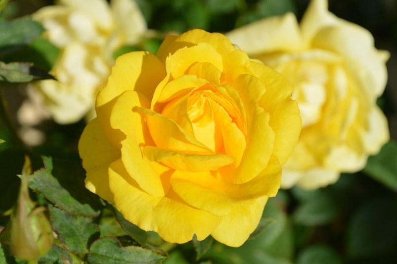 yellow-rose-196393_1920