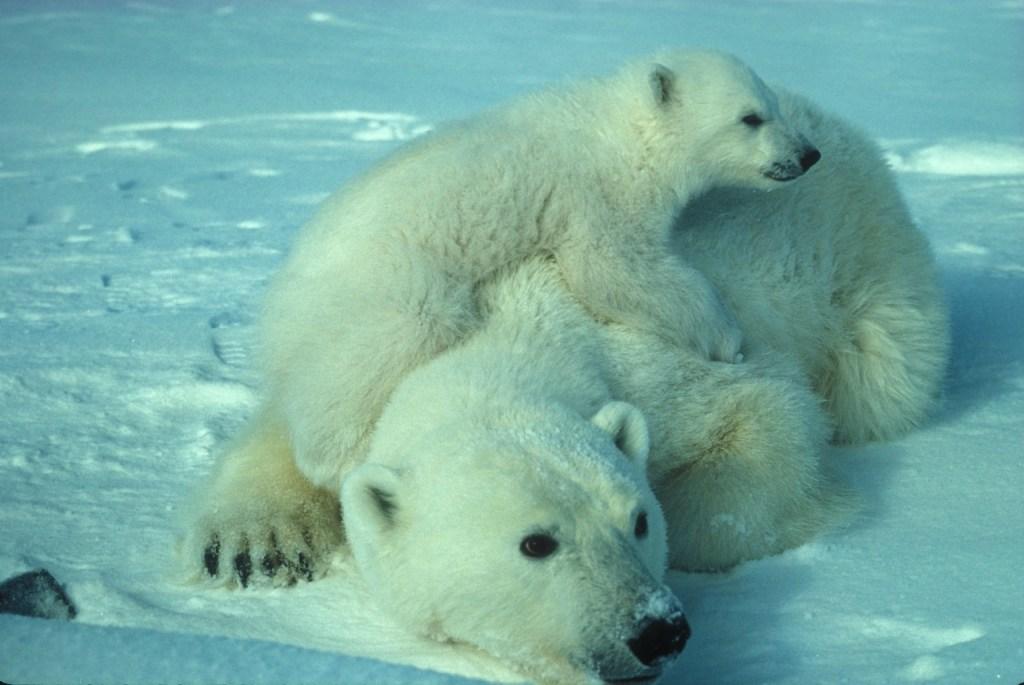How to Parent Like a Polar Bear