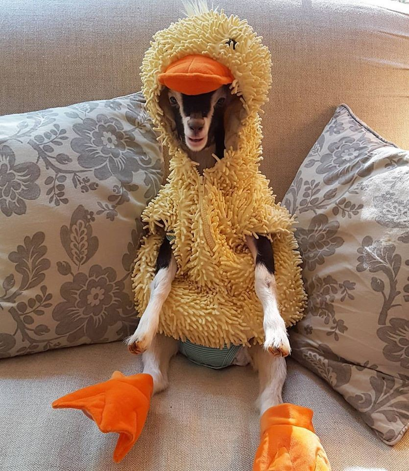 Blind Baby Rescue Goat Wears Duck Costume to Ease Anxiety and It's the Most Adorable Thing EVER