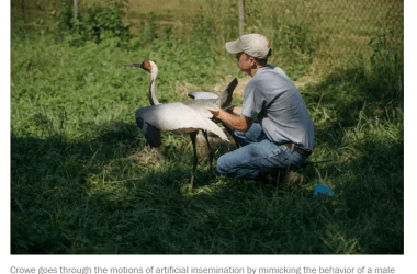 Zookeeper Chris Crowe mates with Walnut the Crane for life
