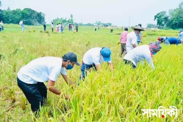 FB IMG 1619087487807 মৌলভীবাজার উপজেলা প্রশাসনের আহ্বানে কৃষকের ধান কেটে দিল রাজনৈতিক কর্মীরা