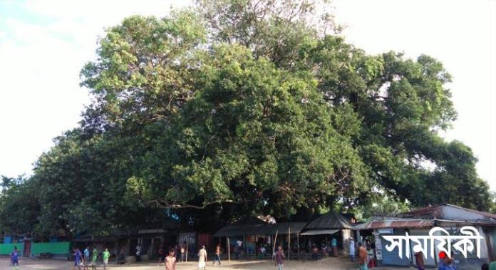 1 15 নাটোরের বারুইহাটির অচিন বৃক্ষ