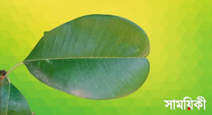 6 1 নাটোরের প্রাচীনতম অচিন বৃক্ষ সংরক্ষণে উদ্যোগ জরুরী: জুনাইদ আহমেদ পলক
