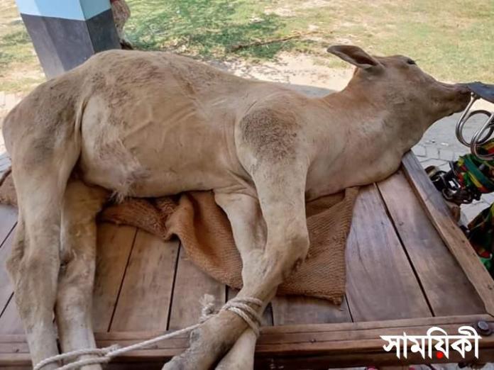 FB IMG 1619865331083 রামপালে ভেড়ীতে গরু যাওয়ায় পিটিয়ে মারলেন ঘের মালিক