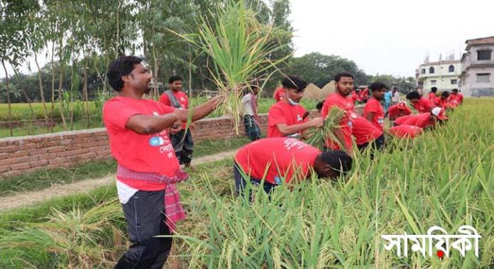 kkk নাটোরে দরিদ্র কৃষকের ধান কেটে দিলেন ছাত্রলীগ