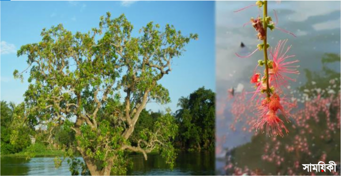 6 নাটোরে কমছে হিজল ফুলের গাছ: নতুন করে রোপনের উদ্যোগ নেই