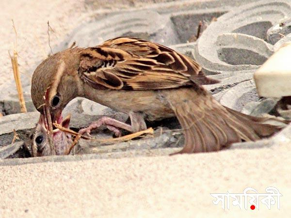 sparraw ৬৫ কোটি চড়াই পাখি নিধন! <br>আজ ৫ জুন, বিশ্ব পরিবেশ দিবসে এক কলঙ্কজনক ঘটনা