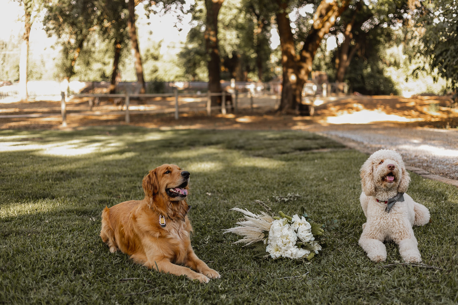 Puppy ring bearers on the lawn.