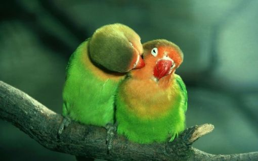 Parrot Kissing