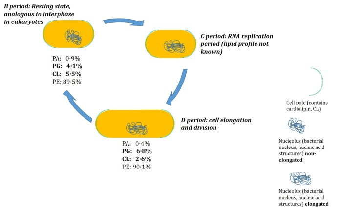 Bacterial cell cycle