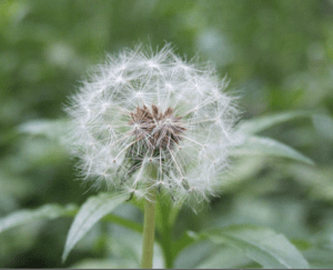 There are so many ways to drop seeds.  There are many ways to practice. BTW dandelions aren't necesarily considered weeds in Japan.