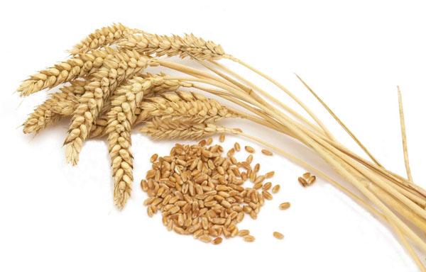 Resultado de imagen para trigo