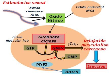 IPDE5 | mecanismo de acción