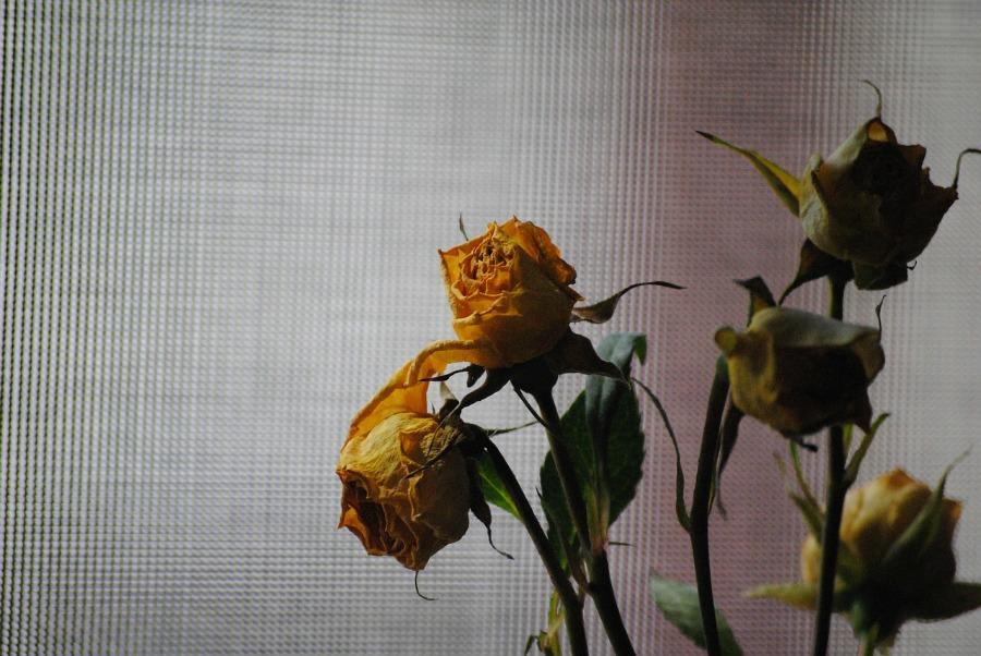 rose-676760_1280