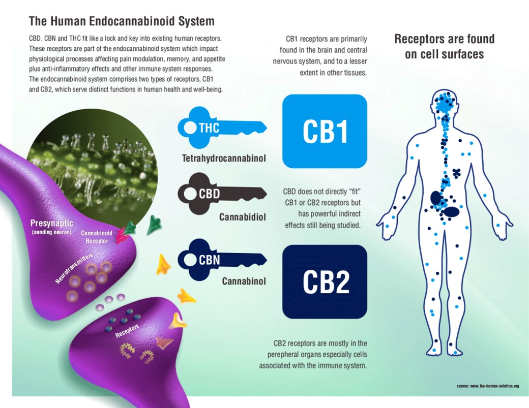: This graphic explains the endocannabinoid system and how it affects your body when THC, CBD and other cannabinoids are introduced into it. Photo: Courtesy of Dr. Dung Trinh