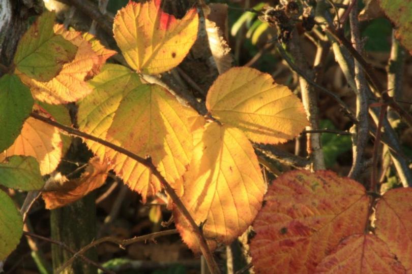 autumn beech - hope in springs eternal