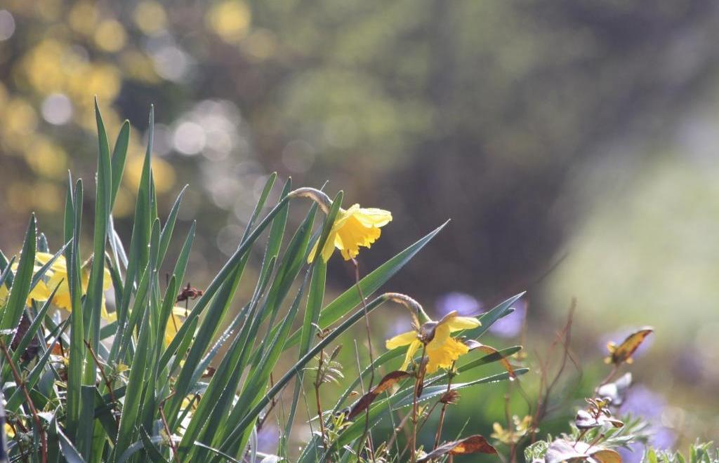 april daffodil - hope in springs eternal