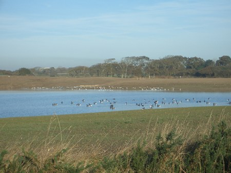 Brent geese and gulls on Pit – Winter