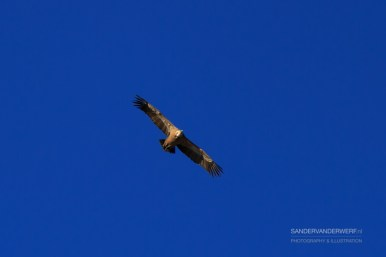 Griffon Vulture in the blue sky over les Vercors.